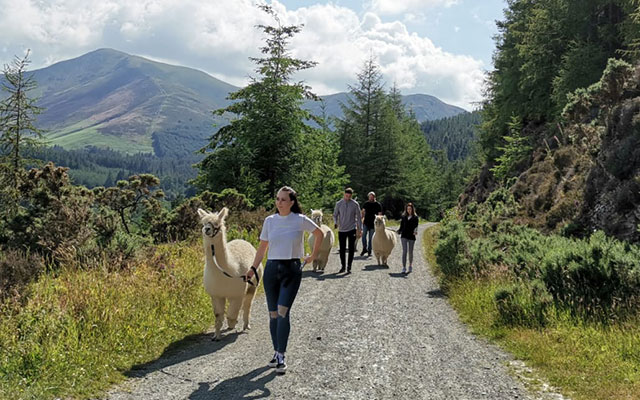 Walking with Alpacas in Whinlatter Forest